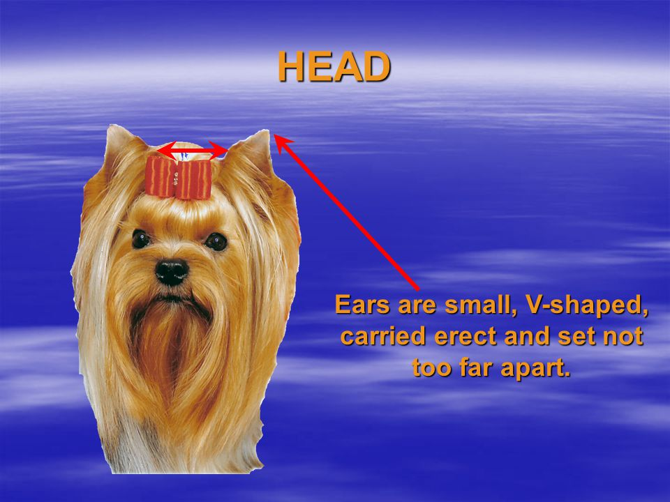 Ears are small, V-shaped, carried erect and set not too far apart.