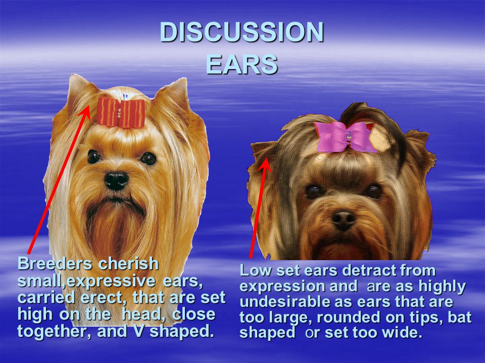 DISCUSSION EARS Breeders cherish small,expressive ears, carried erect, that are set high on the head, close together, and V shaped.