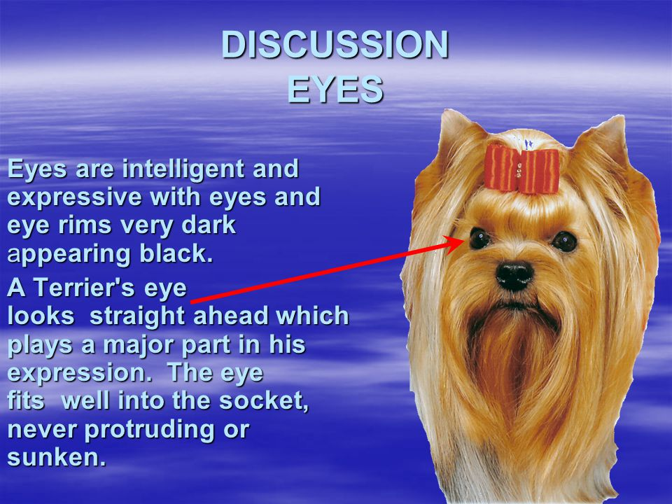 DISCUSSION EYES Eyes are intelligent and expressive with eyes and eye rims very dark appearing black.