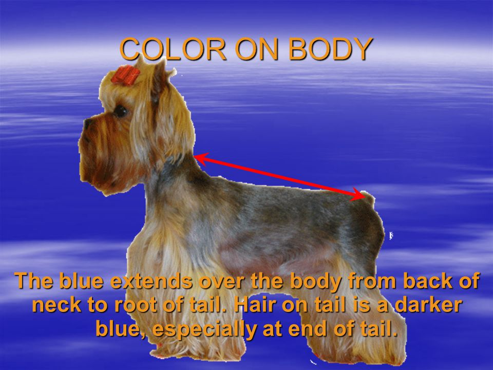 COLOR ON BODY The blue extends over the body from back of neck to root of tail.