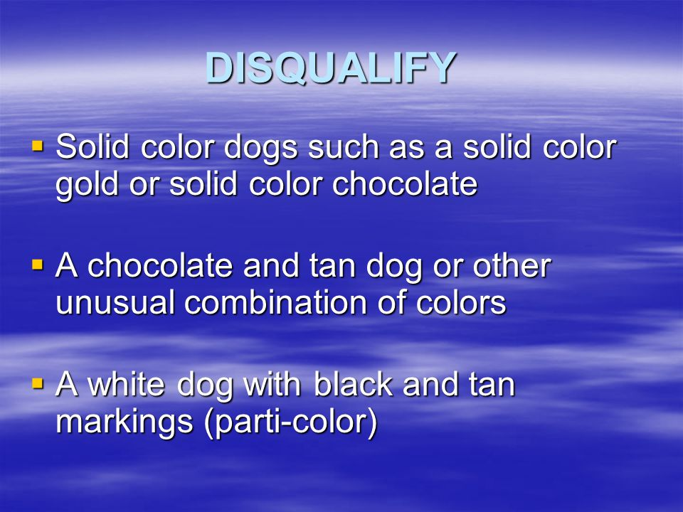 DISQUALIFY Solid color dogs such as a solid color gold or solid color chocolate. A chocolate and tan dog or other unusual combination of colors.