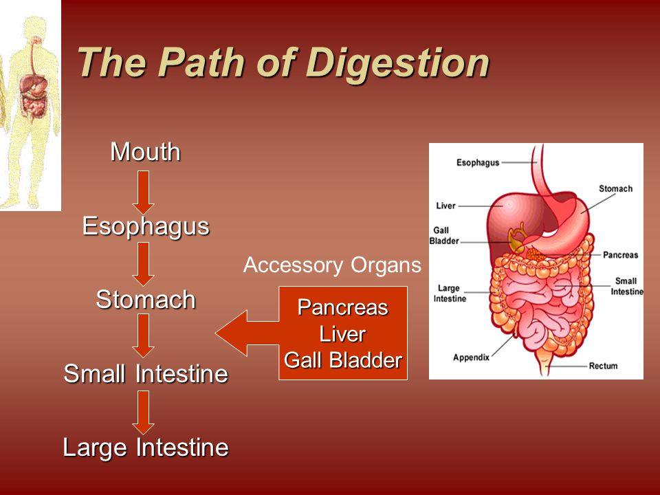 The Path of Digestion Mouth Esophagus Stomach Small Intestine