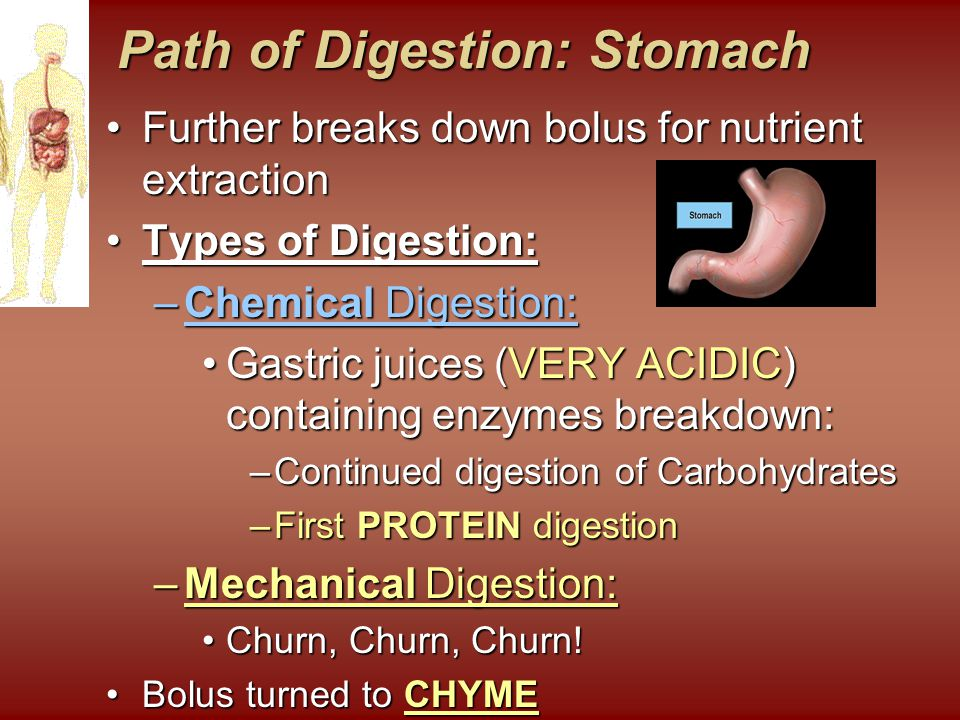 Path of Digestion: Stomach
