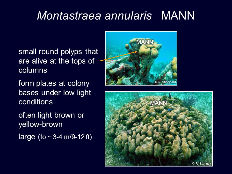 Montastraea annularis MANN