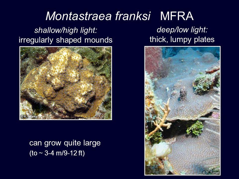 Montastraea franksi MFRA