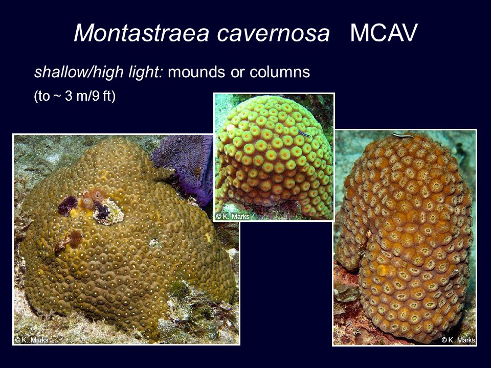 Montastraea cavernosa MCAV