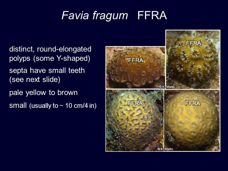 Favia fragum FFRA distinct, round-elongated polyps (some Y-shaped)