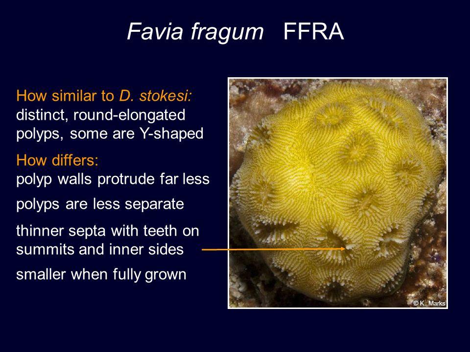 Favia fragum FFRA How similar to D. stokesi: