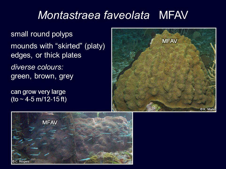 Montastraea faveolata MFAV