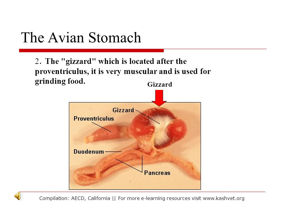 The Avian Stomach 2. The gizzard which is located after the proventriculus, it is very muscular and is used for grinding food.