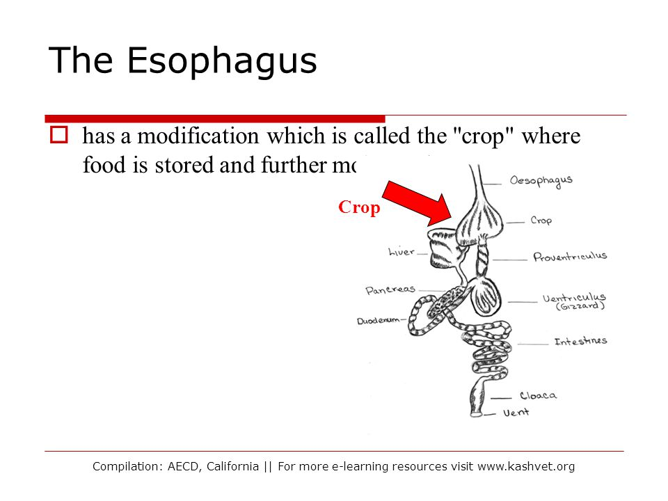 The Esophagus has a modification which is called the crop where food is stored and further moistened.
