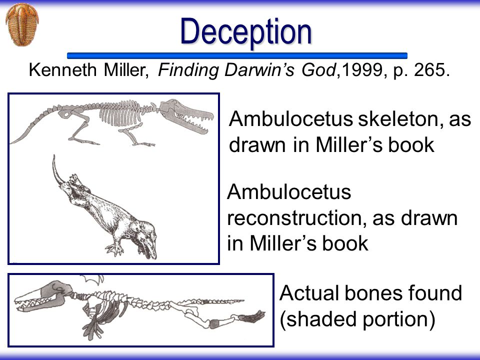 Deception Ambulocetus skeleton, as drawn in Miller's book