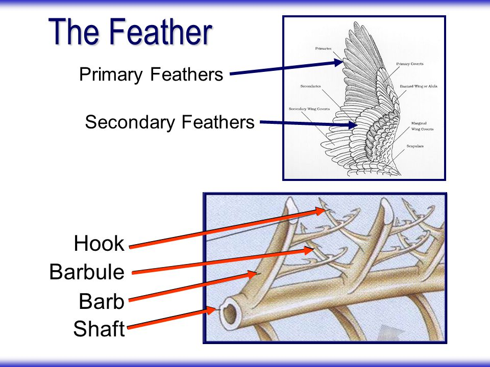 The Feather Hook Barbule Barb Shaft Primary Feathers