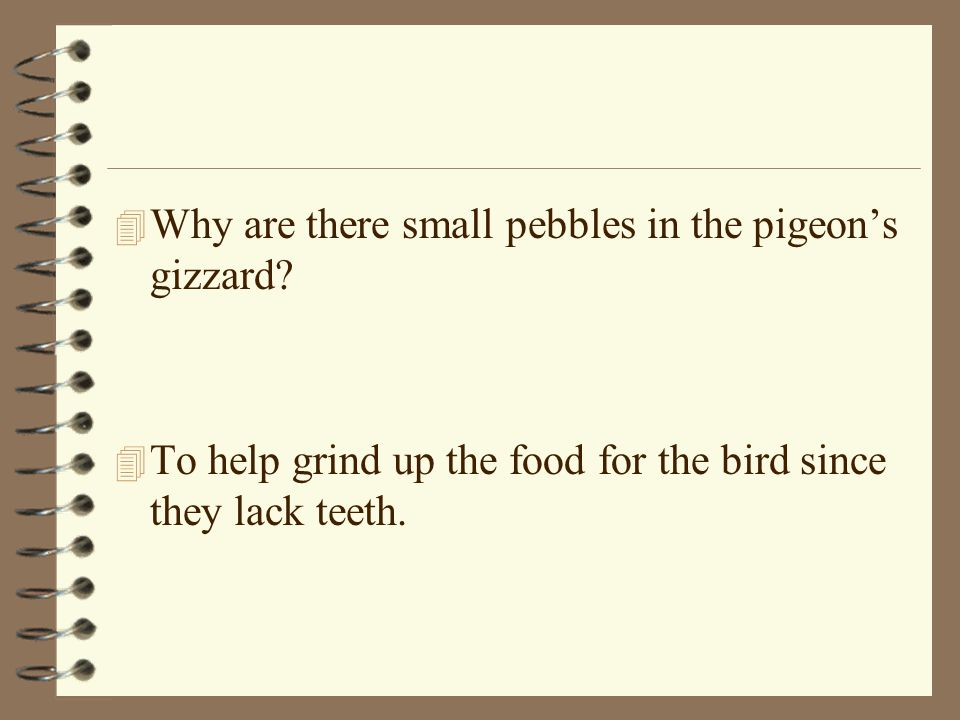 Why are there small pebbles in the pigeon's gizzard