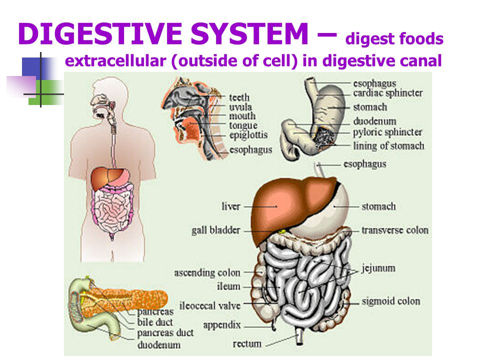 DIGESTIVE SYSTEM – digest foods