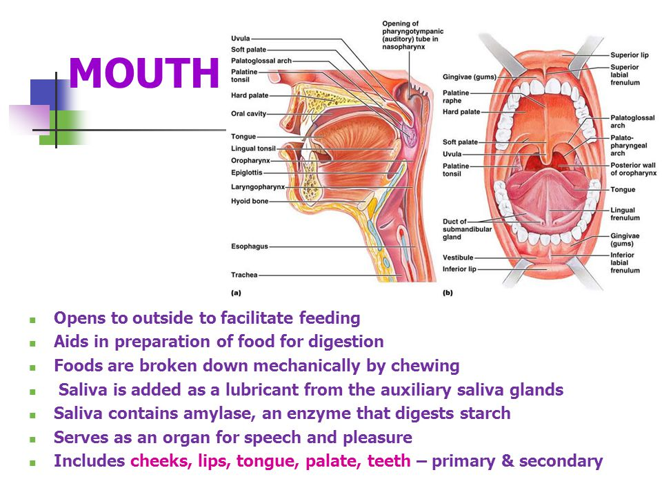 MOUTH Opens to outside to facilitate feeding