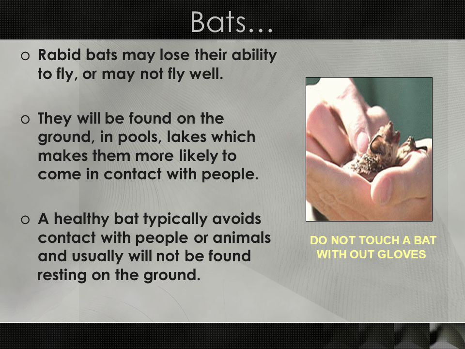 Bats… Rabid bats may lose their ability to fly, or may not fly well.