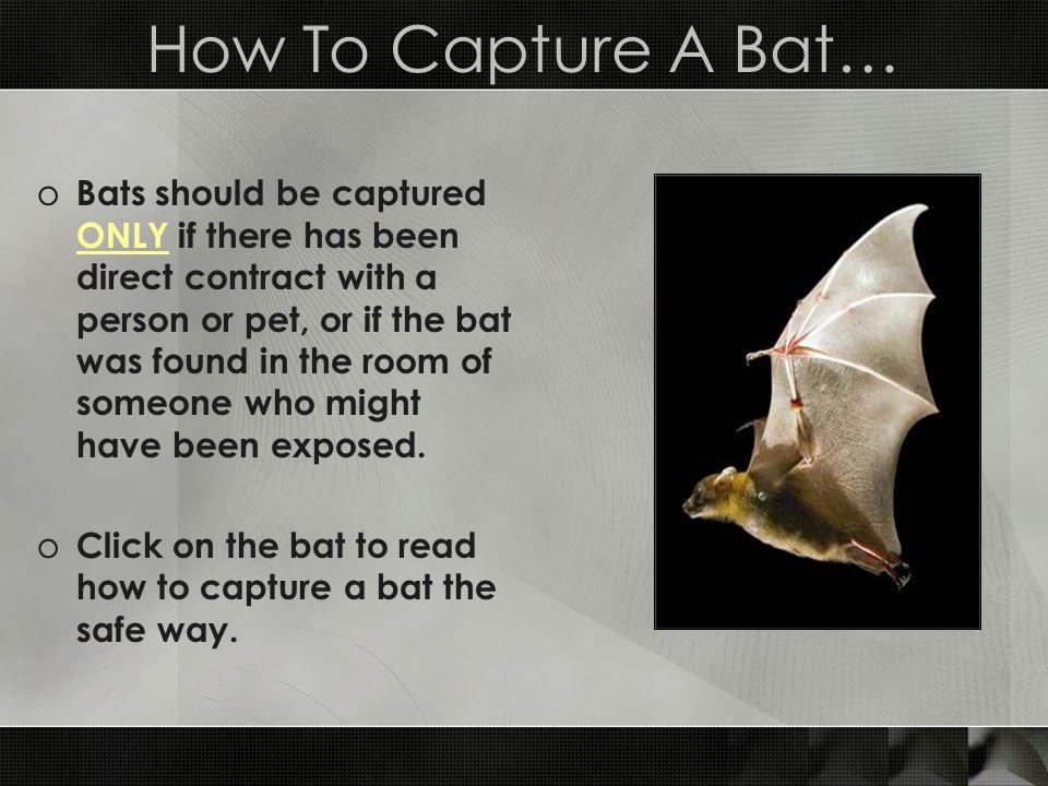 How To Capture A Bat…