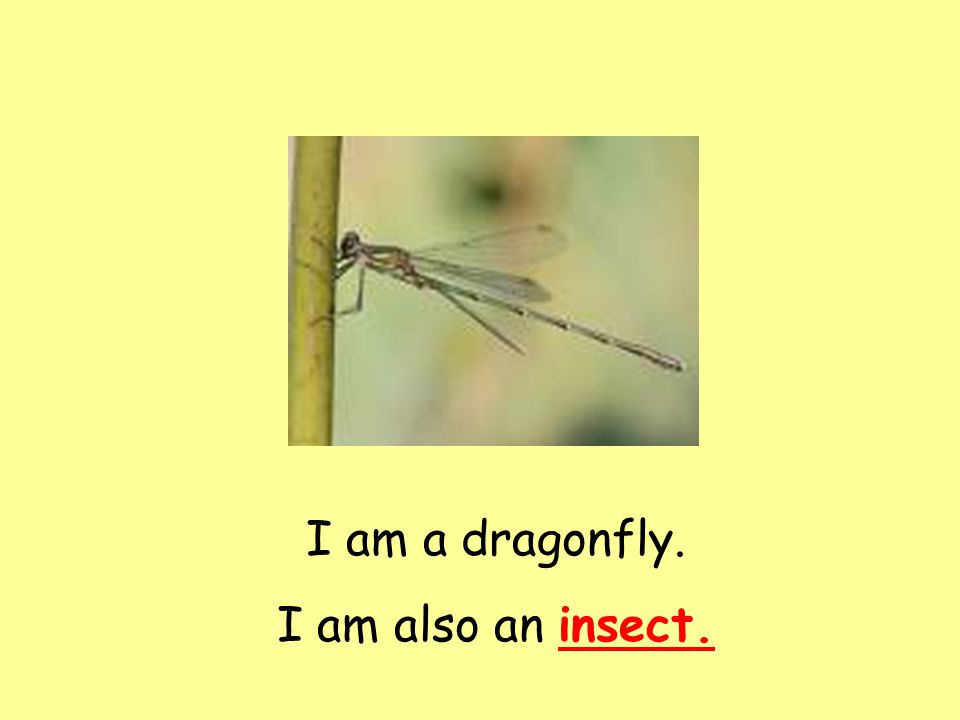 I am a dragonfly. I am also an insect.