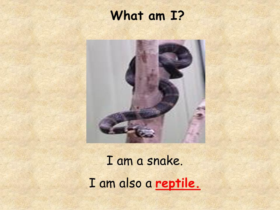 What am I I am a snake. I am also a reptile.