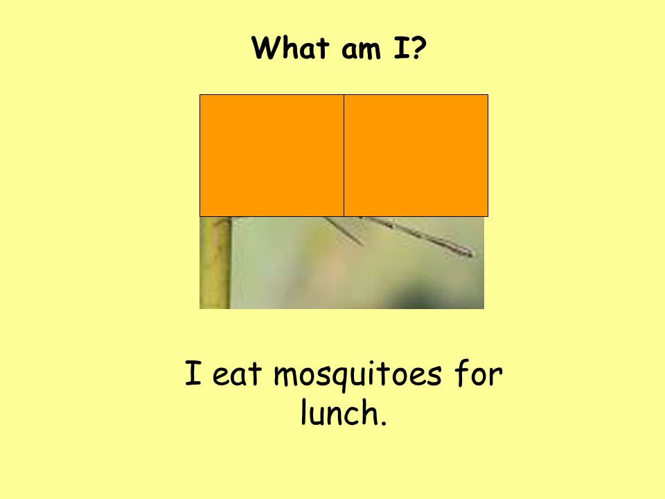 I eat mosquitoes for lunch.