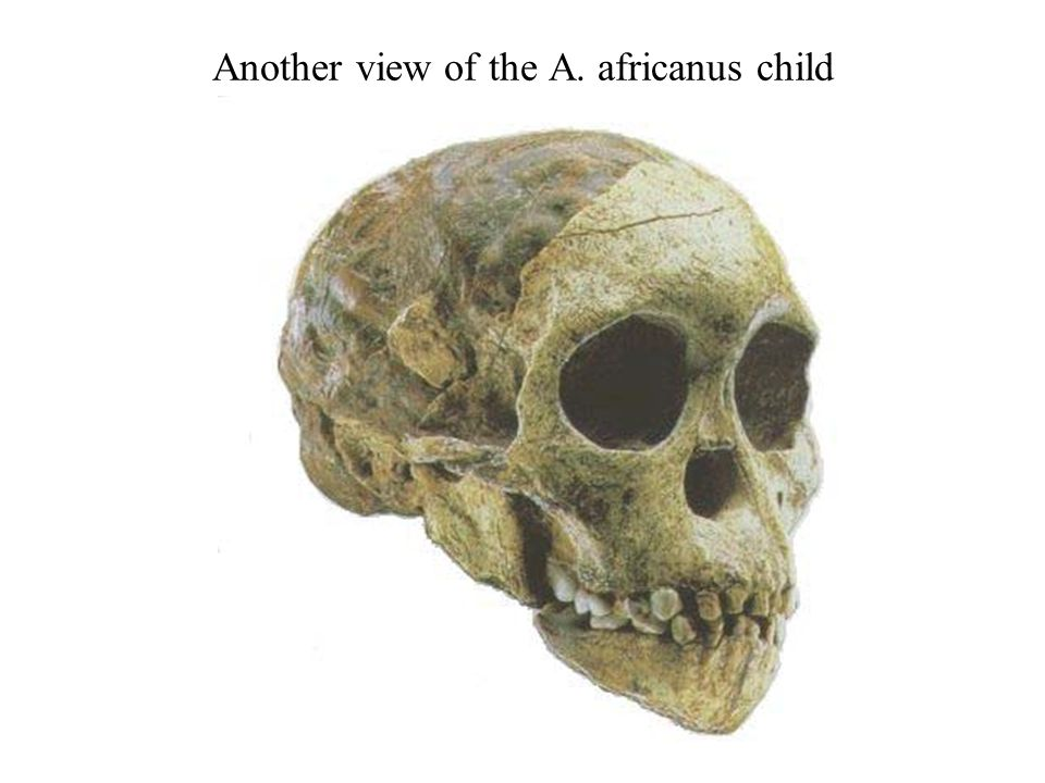 Another view of the A. africanus child