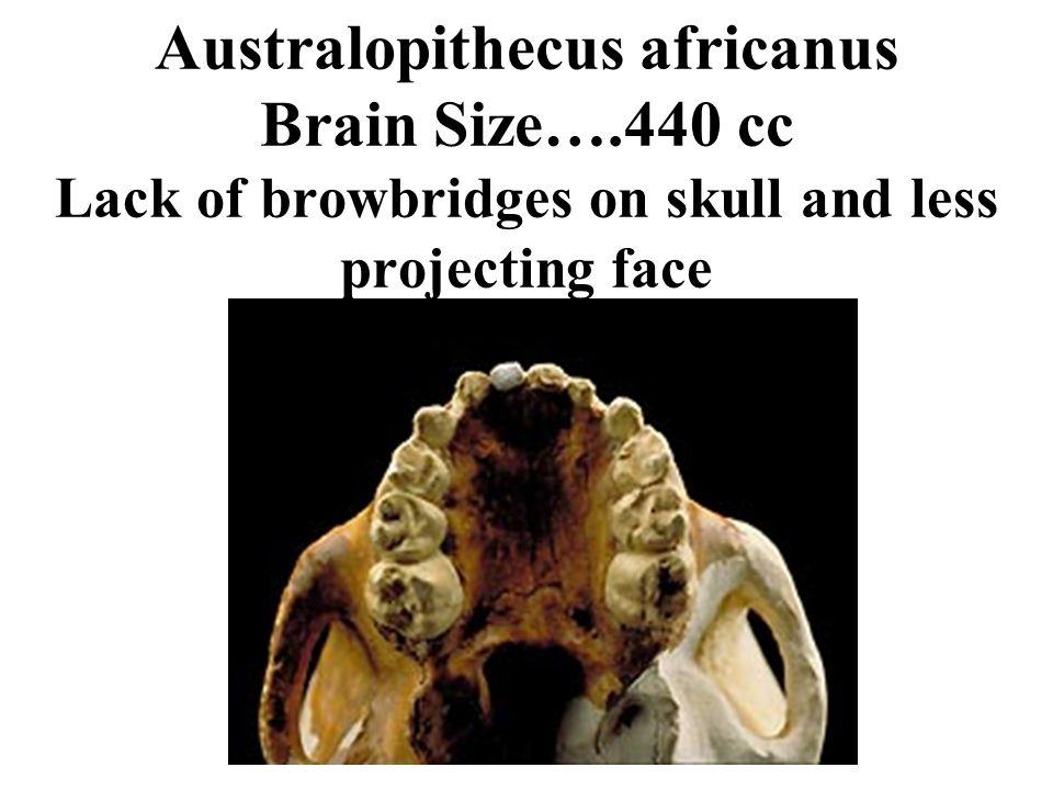 Australopithecus africanus Brain Size…