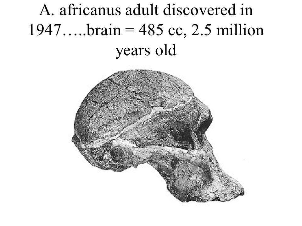 A. africanus adult discovered in 1947…. brain = 485 cc, 2