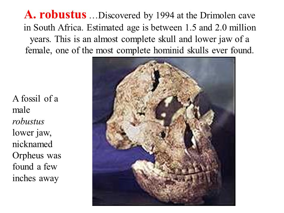 A. robustus …Discovered by 1994 at the Drimolen cave in South Africa