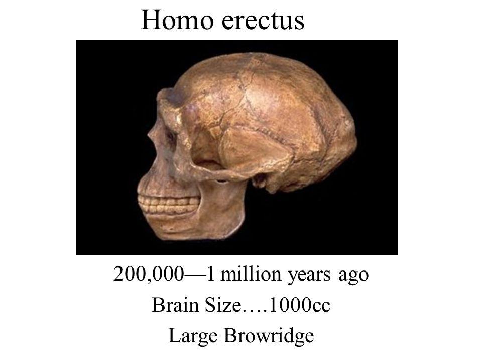 200,000—1 million years ago Brain Size….1000cc Large Browridge