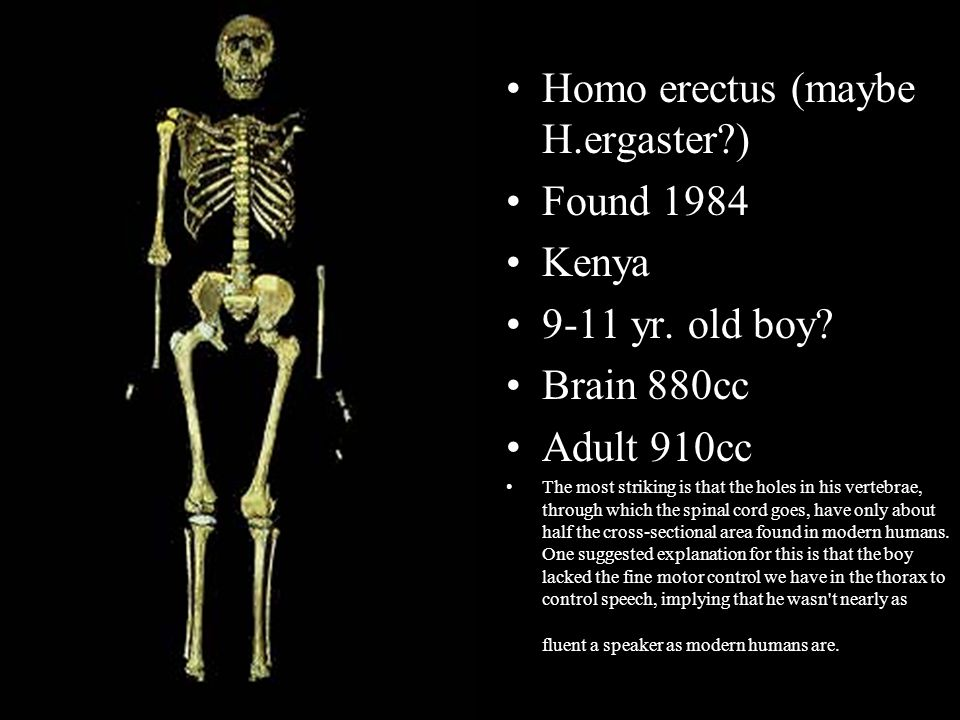 Homo erectus (maybe H.ergaster ) Found 1984 Kenya 9-11 yr. old boy