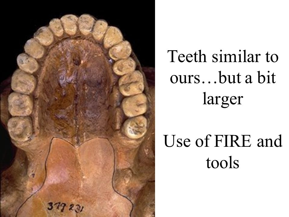 Teeth similar to ours…but a bit larger Use of FIRE and tools