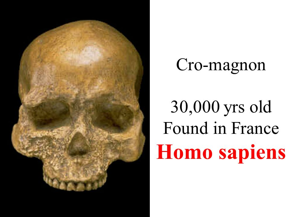 Cro-magnon 30,000 yrs old Found in France Homo sapiens