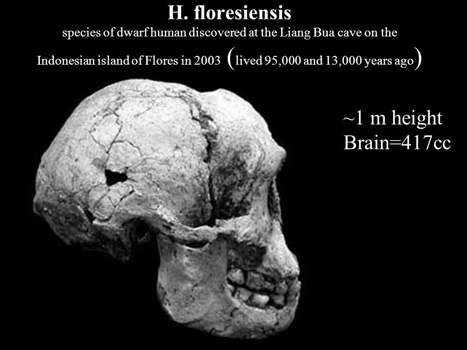 H. floresiensis species of dwarf human discovered at the Liang Bua cave on the Indonesian island of Flores in 2003 (lived 95,000 and 13,000 years ago)