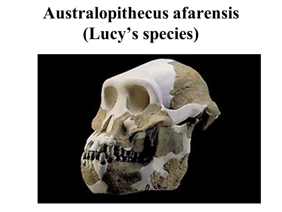 Australopithecus afarensis (Lucy's species)