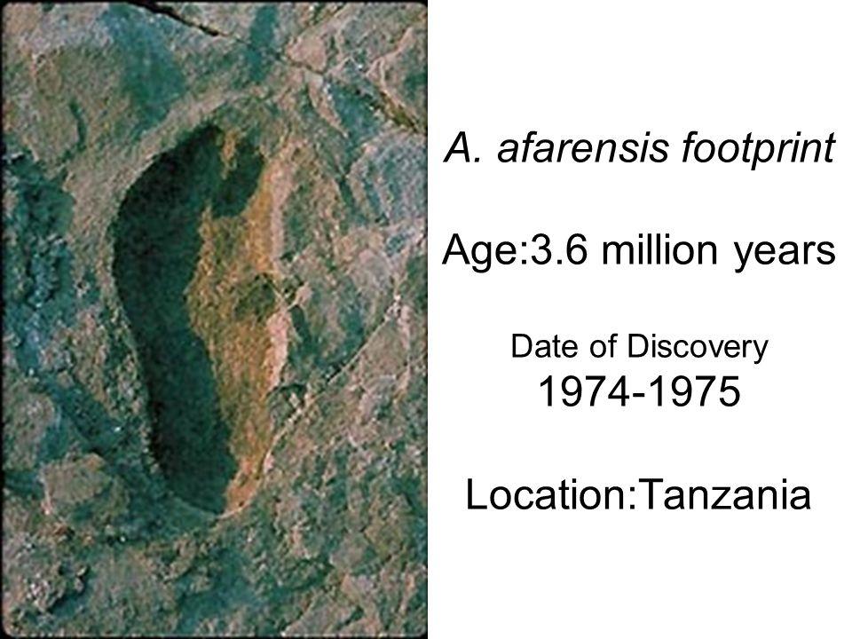A. afarensis footprint Age:3