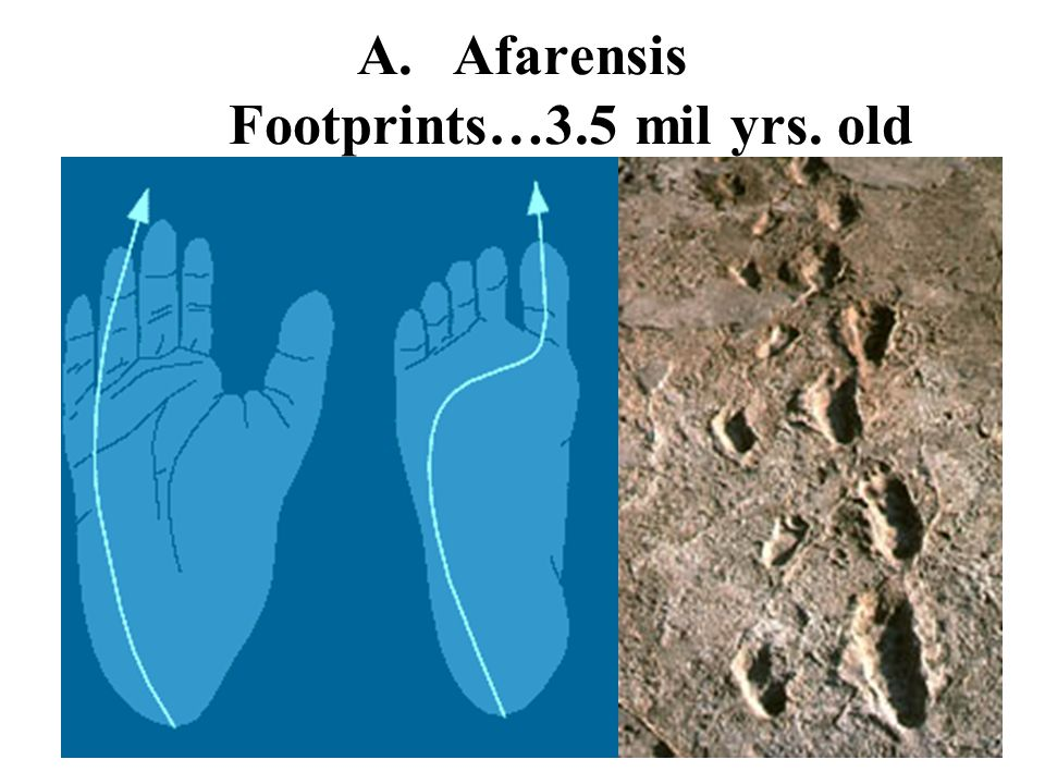 Afarensis Footprints…3.5 mil yrs. old