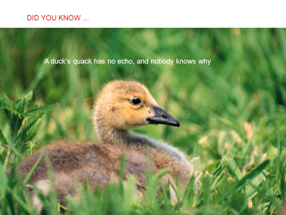 DID YOU KNOW ... A duck's quack has no echo, and nobody knows why