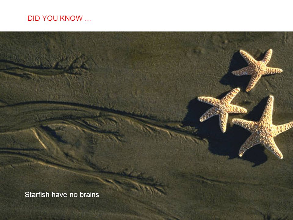 DID YOU KNOW ... Starfish have no brains