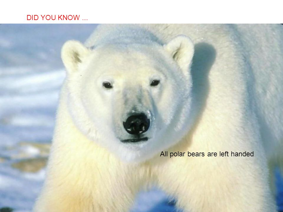 DID YOU KNOW ... All polar bears are left handed