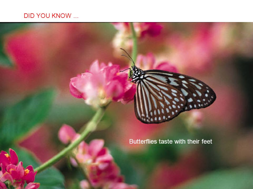 DID YOU KNOW ... Butterflies taste with their feet