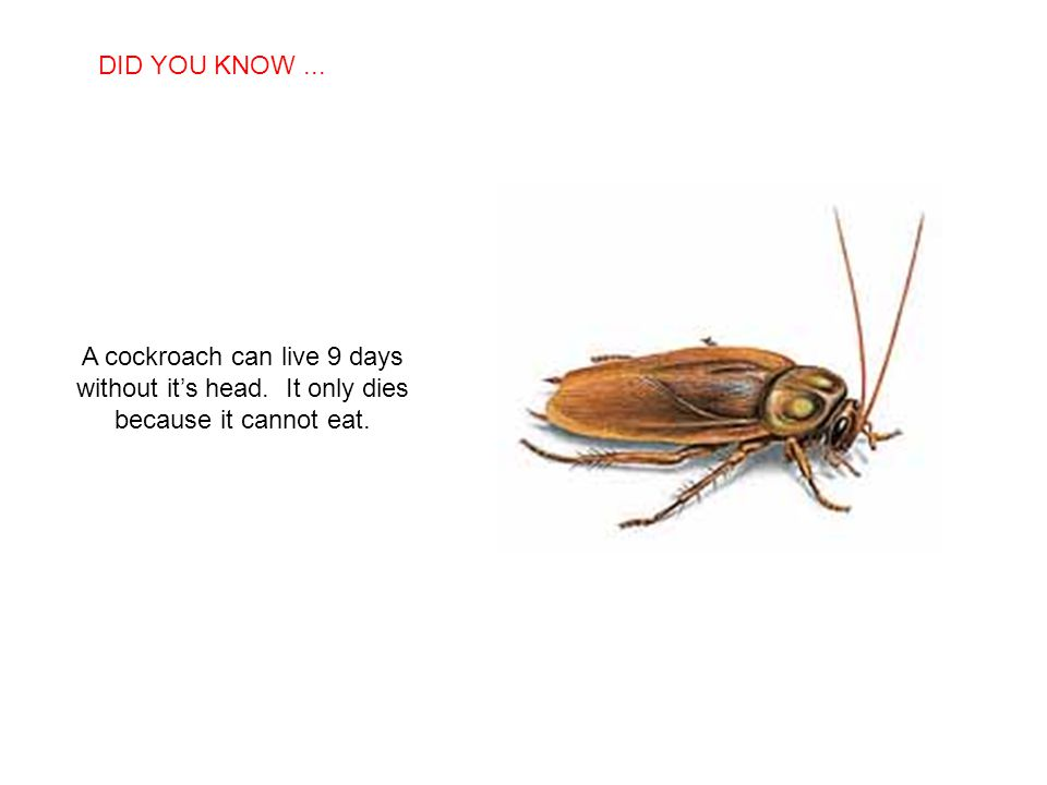 DID YOU KNOW ... A cockroach can live 9 days without it's head.