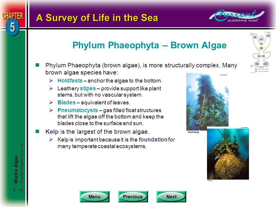 Phylum Phaeophyta – Brown Algae