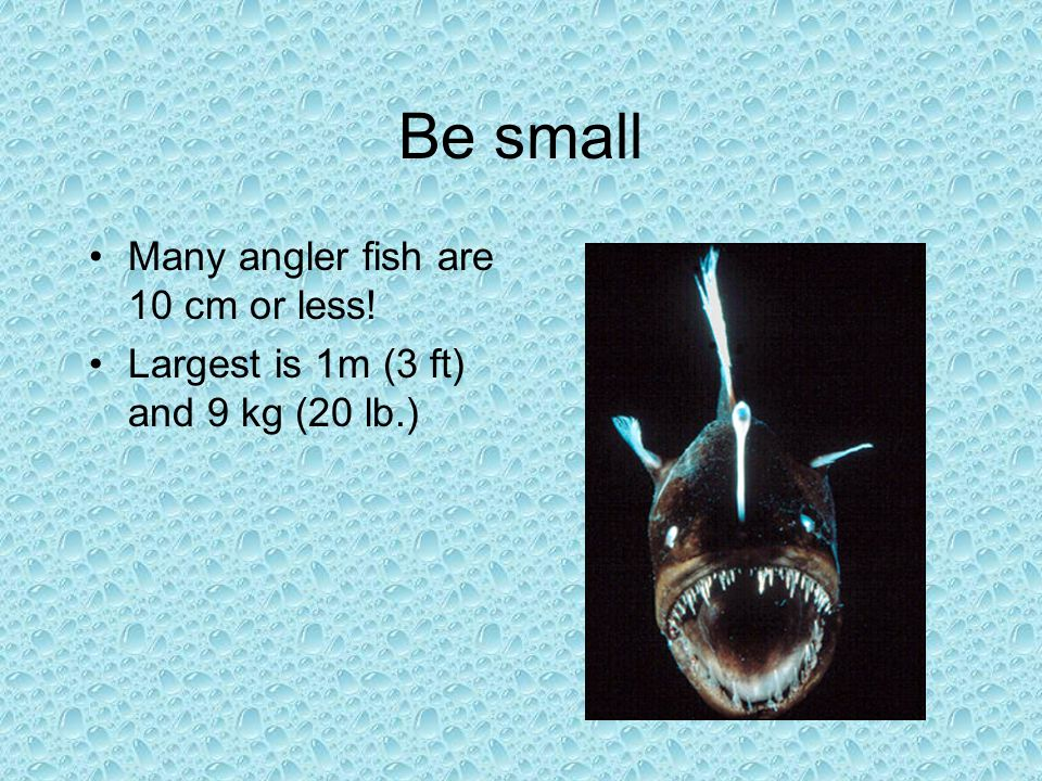 Be small Many angler fish are 10 cm or less!