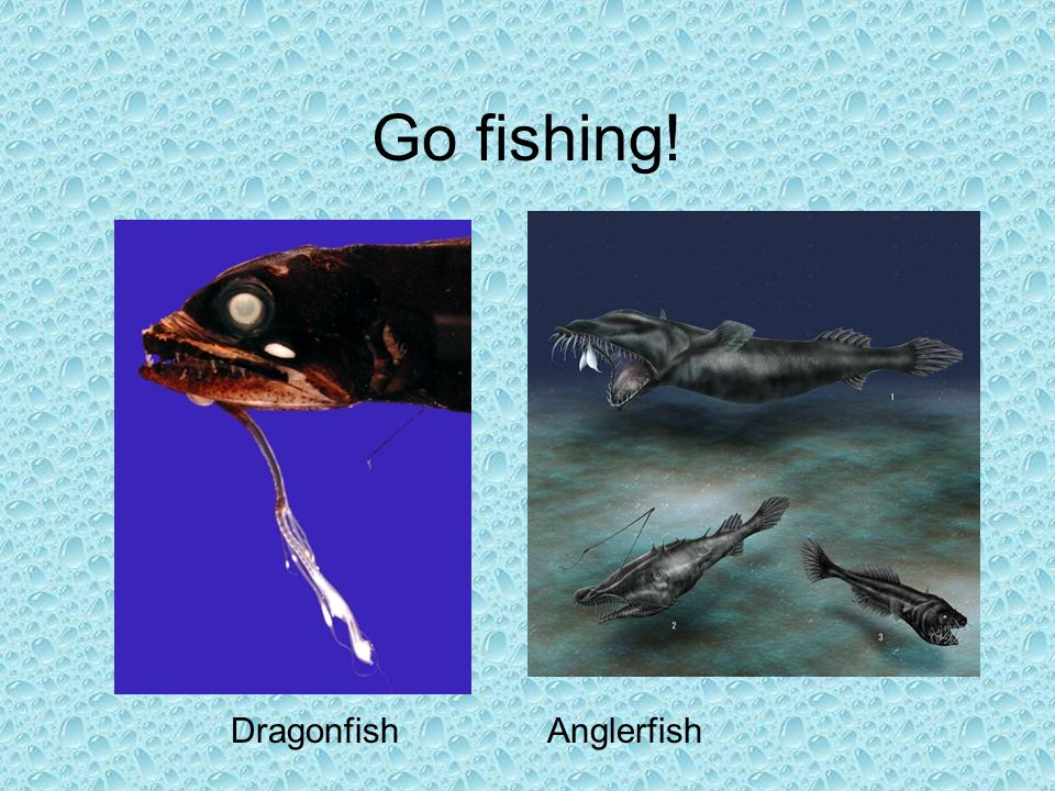 Go fishing! Dragonfish Anglerfish