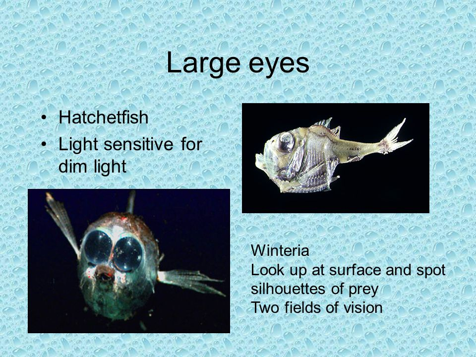 Large eyes Hatchetfish Light sensitive for dim light Winteria