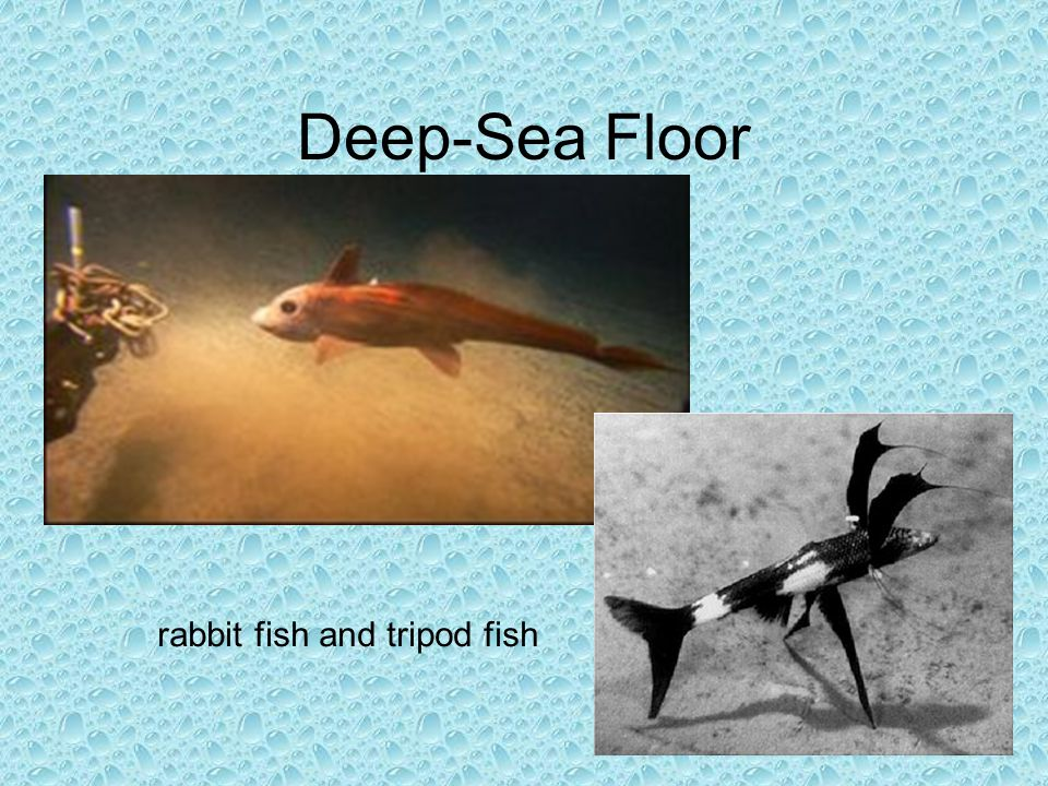Deep-Sea Floor rabbit fish and tripod fish