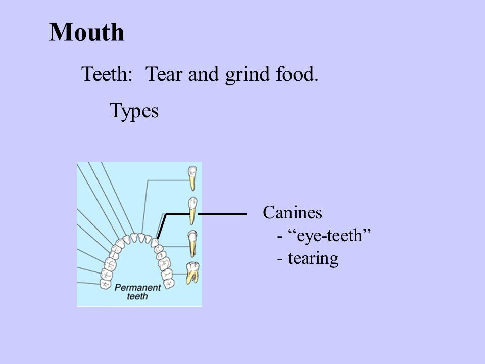 Mouth Teeth: Tear and grind food. Types Canines - eye-teeth