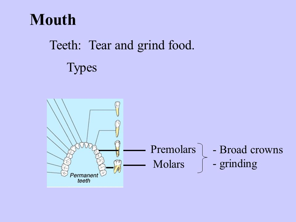 Mouth Teeth: Tear and grind food. Types Premolars - Broad crowns