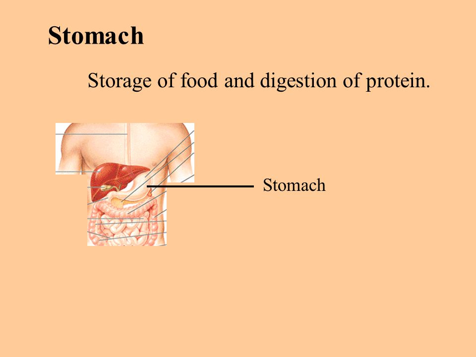 Stomach Storage of food and digestion of protein. Stomach